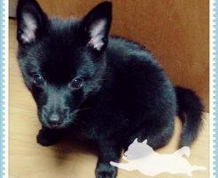 初めて知るスキッパーキという犬種
