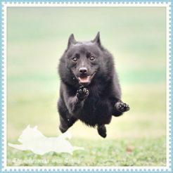スキッパーキのサム、飛行犬撮影会場でプチ逃走