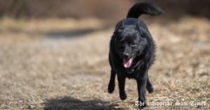 スキッパーキに興味を持つ犬