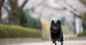 散歩でサムに反応する犬